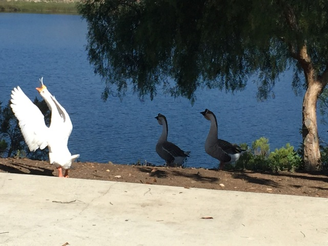Geese Family 1